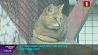 В столичном зоопарке поселился камышовый кот У сталічным заапарку пасяліўся чаротавы кот