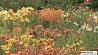 В Ботаническом саду Минска сезон цветения лилий У Батанічным садзе Мінска сезон цвіцення лілей