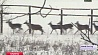 Сотню оленей выпустят в охотничьи угодья  Сотню аленяў выпусцяць у паляўнічыя ўгоддзі