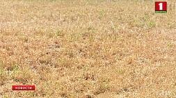 Без дождей и от палящего солнца  страдают посевы Без дажджоў і ад пякучага сонца  пакутуюць пасевы