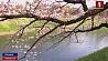 В Японии начался самый красивый сезон в году - время цветения сакуры У Японіі пачаўся самы прыгожы сезон у годзе - час цвіцення  сакуры