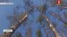 Лесхозы Гродненской области ведут усиленную борьбу с жуком-короедом Лясгасы Гродзенскай вобласці вядуць узмоцненую барацьбу з жуком-караедам
