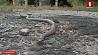 Редкий вид змеи нашли в Беларуси. Медянка поселилась в Брестской области Рэдкі від змяі знайшлі ў Беларусі. Мядзянка пасялілася ў Брэсцкай вобласці