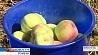 Хороший урожай яблок  планируют собрать в Гомельской области Добры ўраджай яблык плануюць сабраць у Гомельскай вобласці