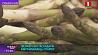 Фермеры собирают первые в сезоне побеги спаржи  Фермеры збіраюць першыя ў сезоне парасткі спаржы  Farmers harvest first shoots of asparagus this season