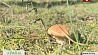 Грибной сезон в Брестском регионе Грыбны сезон у Брэсцкім рэгіёне