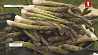 Выращиванием спаржи занимаются фермеры из Столбцовского района Вырошчваннем спаржы займаюцца фермеры са Стаўбцоўскага раёна