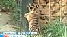 Лондонский зоопарк впервые представил публике трех тигрят Лонданскі заапарк упершыню паказаў публіцы трох тыгранят