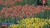 Сезон тюльпанов  открылся в Голландии Сезон цюльпанаў  адкрыўся ў Галандыі