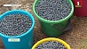Урожай черники в Гомельской области в несколько раз превысил прошлогодний Ураджай чарніц у Гомельскай вобласці ў некалькі разоў перавысіў леташні