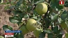 В Минской области небывалый урожай яблок: 50 килограммов с одного дерева У Мінскай вобласці небывалы ўраджай яблыкаў: 50 кілаграмаў з аднаго дрэва