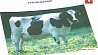 С сентября в стране  ужесточат стандарты на молоко  З верасня ў краіне  ўзмацняць жорсткасць стандартаў на малако