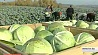 Аграрии Минской области завершают уборку фруктов и овощей Аграрыі Мінскай вобласці завяршаюць уборку садавіны і гародніны