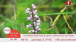 В Гродненском районе цветет уникальное растение - венерин башмачок