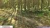 Бесхозяйственность в лесничестве Червенского района Бесгаспадарчасць у лясніцтве Чэрвеньскага раёна