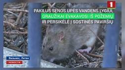 Нашествие крыс в Вильнюсе. Полгода эпидемиологи не реагируют на грызунов Нашэсце пацукоў у Вільнюсе. Паўгода эпідэміёлагі не рэагуюць на грызуноў
