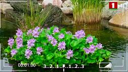 Водный гиацинт - эйхорния -  заменяет системы фильтрации и кислородные насосы, очищает воду в пруду