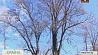 В Могилеве каждое вековое дерево теперь на учете У Магілёве кожнае векавое дрэва цяпер на ўліку
