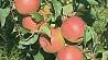 Яблочный сезон набирает обороты Яблычны сезон набірае абароты