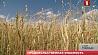 Небывалая засуха охватила всю планету. Тысячи фермеров несут огромные убытки