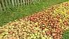 Белкоопсоюз закупил у населения более 60 тысяч тонн яблок Белкаапсаюз закупіў у насельніцтва больш за шэсцьдзясят тысяч тон яблыкаў