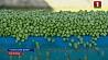 В Беларуси началась уборка зеленого горошка У Беларусі пачалася ўборка зялёнага гарошку