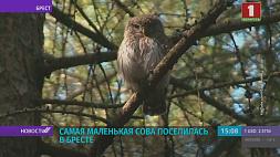 Самая маленькая сова поселилась в Бресте Самая маленькая сава пасялілася ў Брэсце