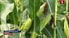 Гомельские аграрии приступили к уборке кукурузы Гомельскія аграрыі пачалі ўборку кукурузы