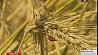 Уборка зерновых в  Минской области начнется в конце июля - начале августа  Harvesting grain in Minsk Region to begin in late July - early August