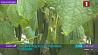 Небывалый урожай овощей под искусственным солнцем Небывалы ўраджай агародніны пад штучным сонцам