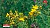 В Минский ботанический сад - за лекарственными растениями У Мінскі батанічны сад - па лекавыя расліны