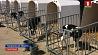 В Гродненской области модернизация молочно-товарных комплексов приносит положительные результаты  У Гродзенскай вобласці мадэрнізацыя малочна-таварных комплексаў прыносіць станоўчыя вынікі  Modernization of dairy-commodity complexes brings positive results in Grodno region