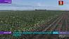 Аграрии завершают уборку сахарной свеклы  Аграрыі завяршаюць уборку цукровых буракоў Farmers complete sugar beet harvesting