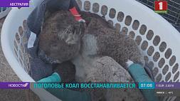 В Австралии поголовье коал восстанавливается после прошлогодних пожаров У Аўстраліі пагалоўе каал аднаўляецца пасля леташніх пажараў