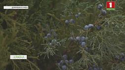 Более 40 000 новогодних деревьев заготовят лесхозы Минской области