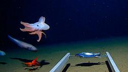 Осьминога сфотографировали на рекордной глубине 7 км