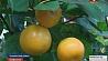 Урожай экзотических фруктов собирают в Витебской области Ураджай экзатычнай садавіны збіраюць у Віцебскай вобласці