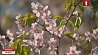 В столице цветет японское дерево  У сталіцы цвіце японскае дрэва