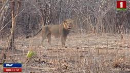 Из национального парка на востоке ЮАР  сбежали 15 львов З нацыянальнага парку на ўсходзе ПАР  збеглі 15 львоў