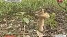 Нынешнее  лето бьет рекорды по количеству грибов