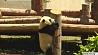 В китайской провинции Сычуань открылся новый панда-центр У кітайскай правінцыі Сычуань адкрыўся новы панда-цэнтр