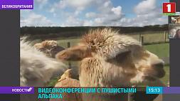 Видеоконференции с пушистыми альпака проводит ферма в Шотландии Відэаканферэнцыі з пухнатымі альпака праводзіць ферма ў Шатландыі