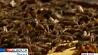 Жителей Техаса  атакуют пчелы-убийцы Жыхароў Тэхаса  атакуюць пчолы-забойцы