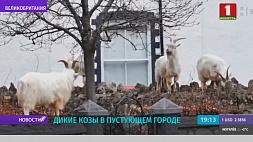Дикие козы появились на улицах одного из городков Уэльса