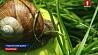 Первую опытную партию улиточной икры получили  в Гродненской области Першую доследную партыю смаўжовай ікры атрымалі  ў Гродзенскай вобласці First experimental batch of snail caviar produced in Grodno Region