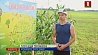 Единственный в Беларуси кукурузный лабиринт открыл второй сезон Адзіны ў Беларусі кукурузны лабірынт адкрыў другі сезон
