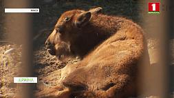 Семья зубров в Минском зоопарке объединилась Сям'я зуброў у Мінскім заапарку аб'ядналася