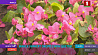 Минск украсят около 2 миллионов  цветов Мінск упрыгожаць каля 2 мільёнаў кветак