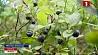 Заготовка ягод и грибов активно идет в Минской области Нарыхтоўка ягад і грыбоў ідзе актыўна ў Мінскай вобласці