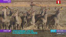 В лесных угодьях Климовичского района появятся благородные олени У лясных угоддзях Клімавіцкага раёна з'явяцца высакародныя алені